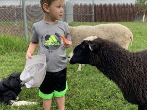 Visit The Sheep In Fort Saskatchewan